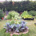 Cabbages doing well
