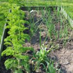 Carrots, Onions & Garlic